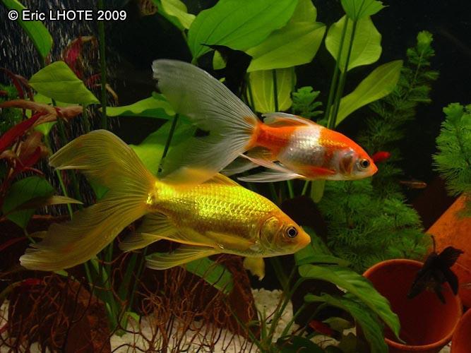 Phototh que poisson rouge queue de comete for Poisson rouge reste fond aquarium