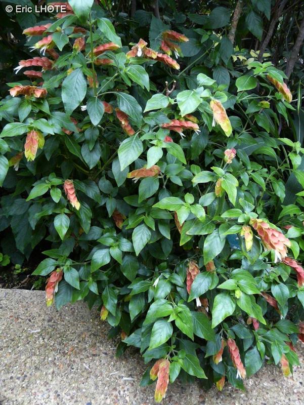 Fiche justicia brandegeeana beloperone guttata for Plante lacustre