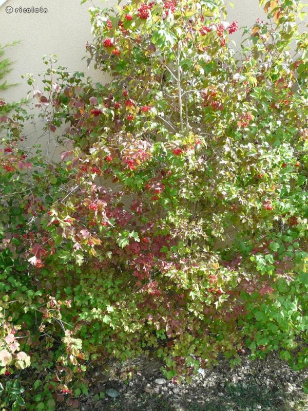 Fiche viburnum opulus roseum - Boule de neige plante ...