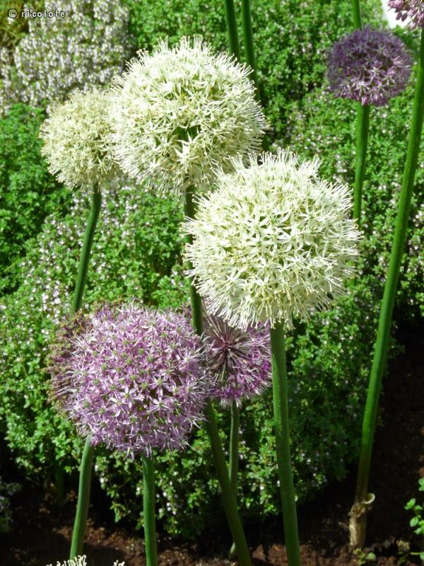 Fiche allium mount everest for Plante lacustre