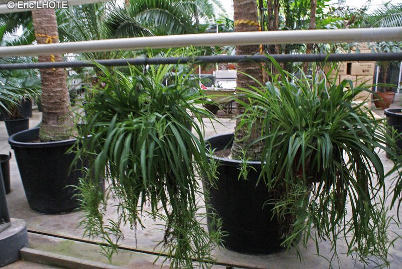 Fiche chlorophytum comosum for Plante lacustre