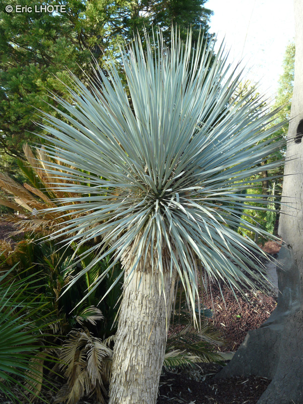Yucca rostrata yucca rostrata luxury project on myroom for Cactus exterieur resistant au froid