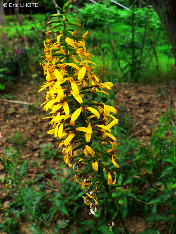 - Ligularia stenocephala The Rocket -