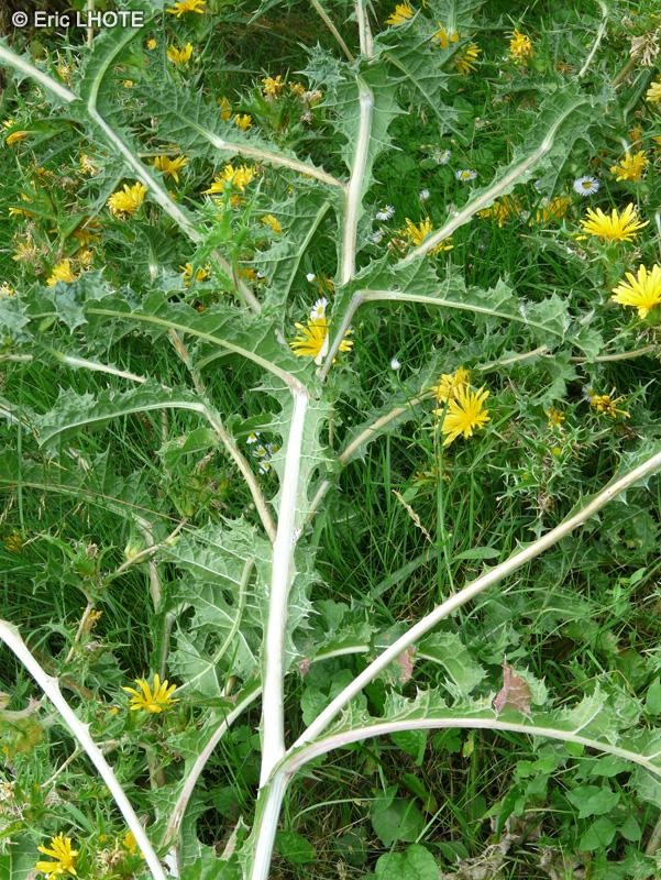 Fiche scolymus hispanicus for Plante lacustre