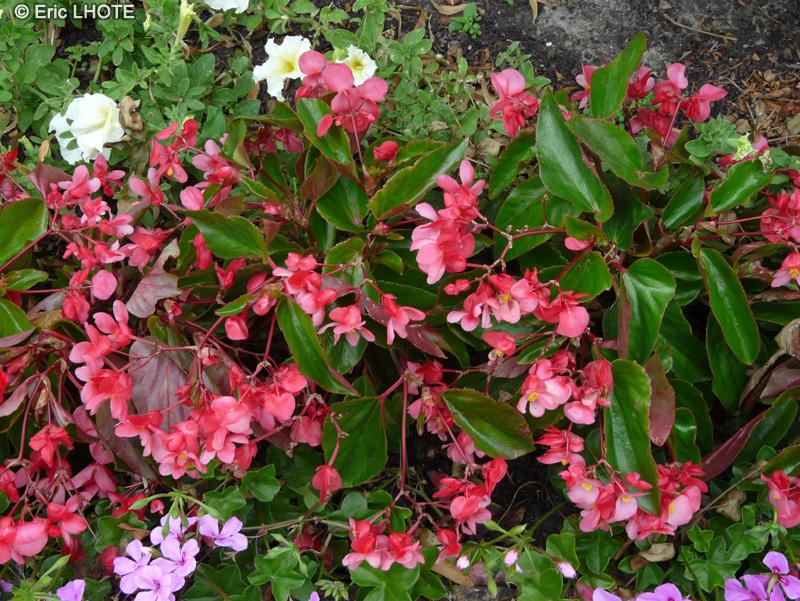 Begonia annuel