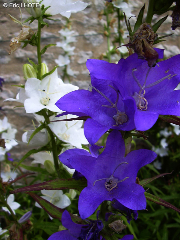 Fiche campanula persicifolia - Campanule a feuilles de pecher ...
