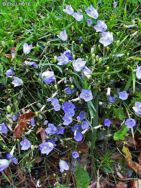 Fiche campanula rotundifolia - Campanule a feuilles rondes ...