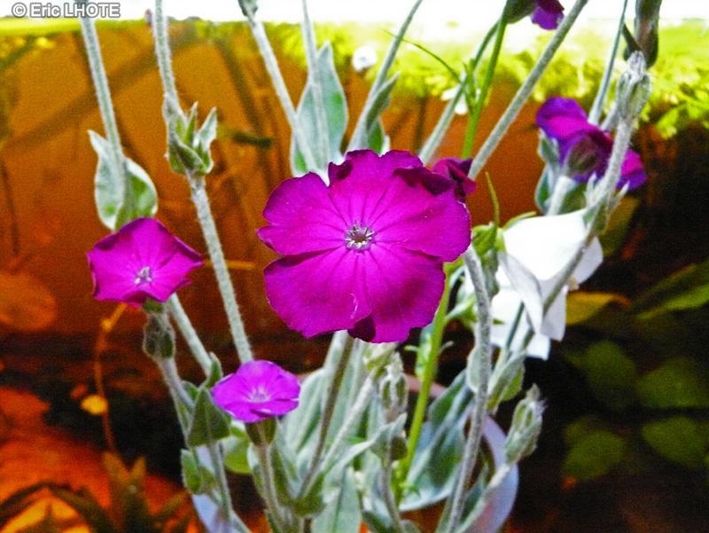 Fiche lychnis coronaria silene coronaria - Coquelourde des jardins lychnis coronaria ...