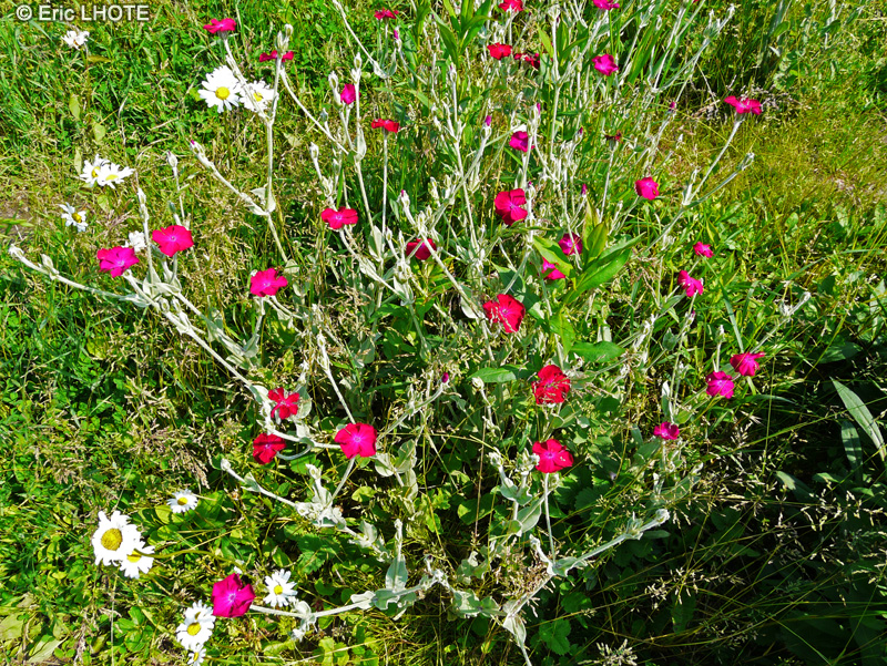 Biblioplantes fiche taxon lychnis coronaria silene - Coquelourde des jardins lychnis coronaria ...