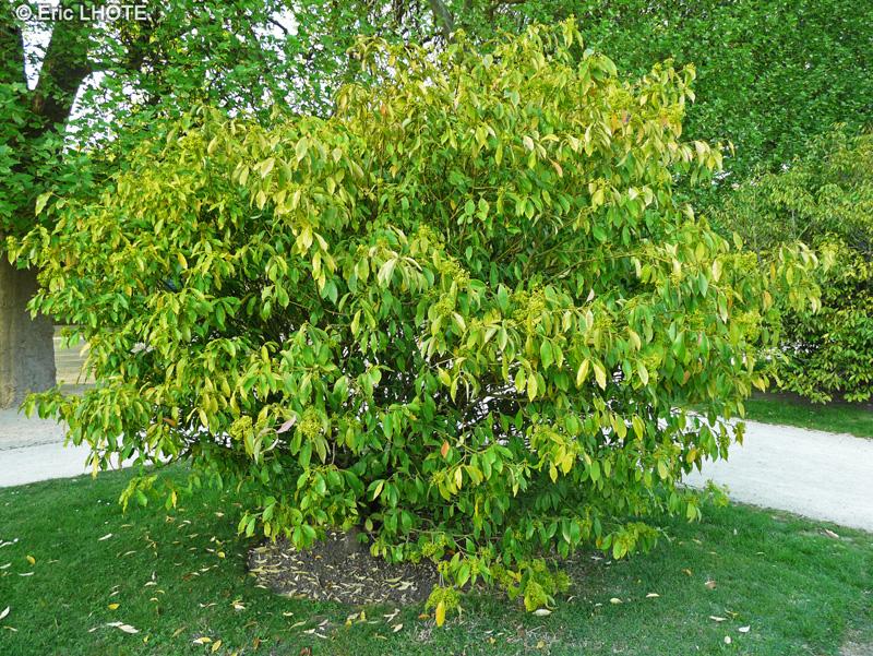 Fiche euonymus myrianthus for Acheter arbustes en ligne