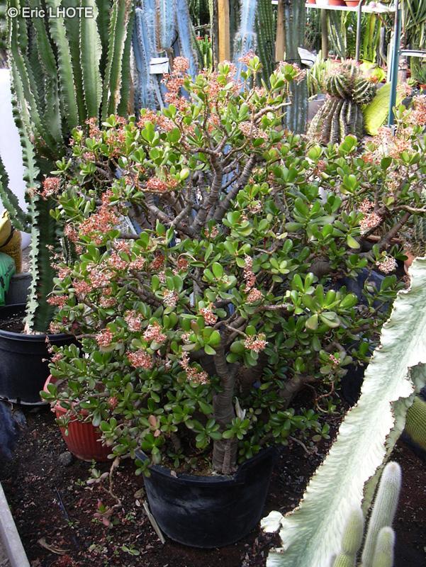 Fiche crassula ovata crassula argentea crassula portulacea for Plante lacustre