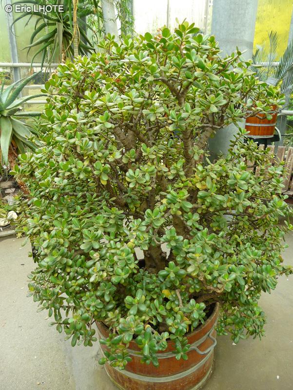 Fiche crassula ovata crassula argentea crassula for Plante crassula