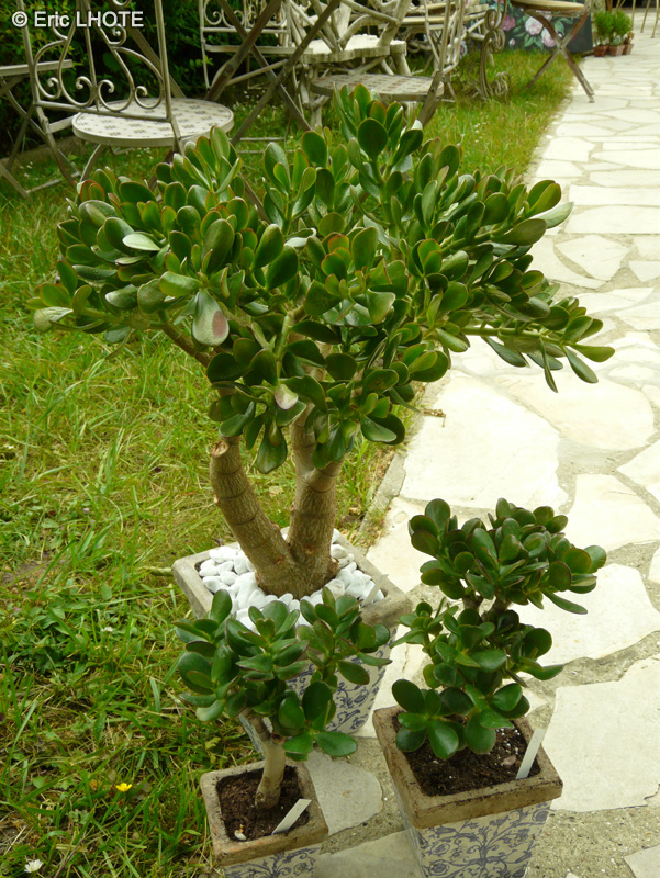 crassula ovata argentea portulacea pictures. Black Bedroom Furniture Sets. Home Design Ideas
