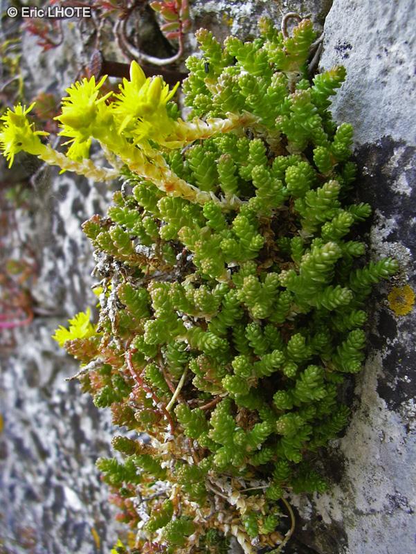 Fiche sedum acris page 3005 for Plante lacustre