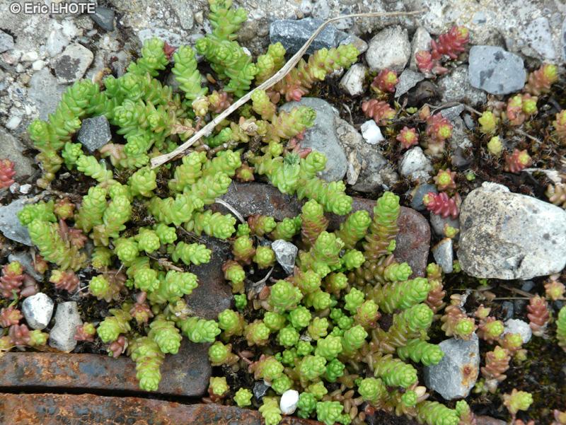Fiche sedum alpestre for Plante lacustre