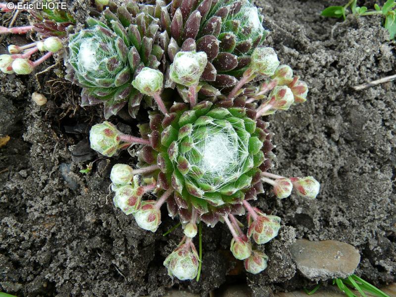 Fiche sempervivum arachnoideum for Plante lacustre