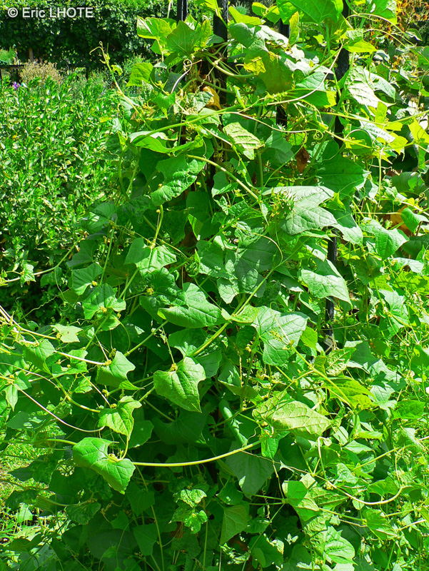 Fiche cyclanthera brachystachia page 3089 for Plante lacustre