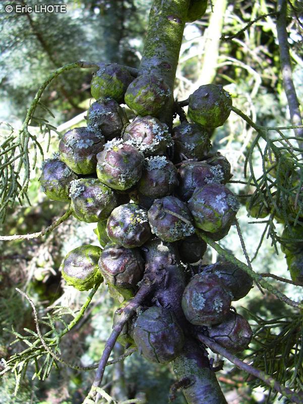 Fiche cupressus arizonica glauca page 3124 - Cypres bleu de l arizona ...