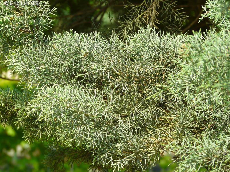 Biblioplantes fiche taxon cupressus arizonica glauca page 7 - Cypres bleu de l arizona ...