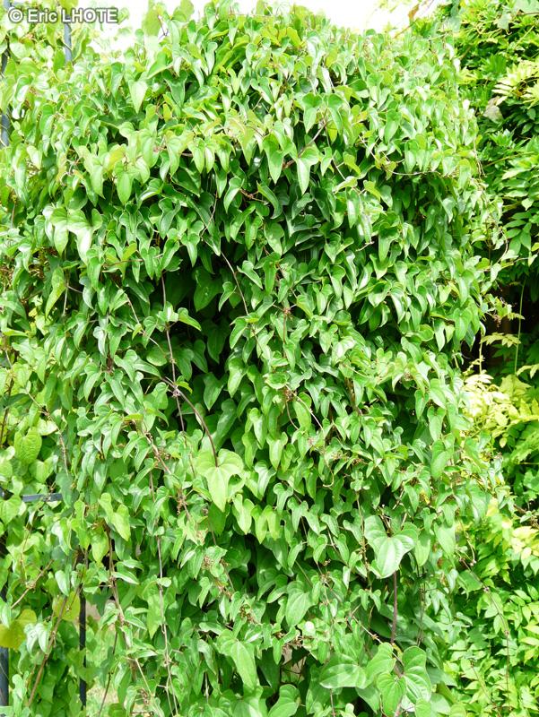 Fiche dioscorea tokoro for Plante lacustre