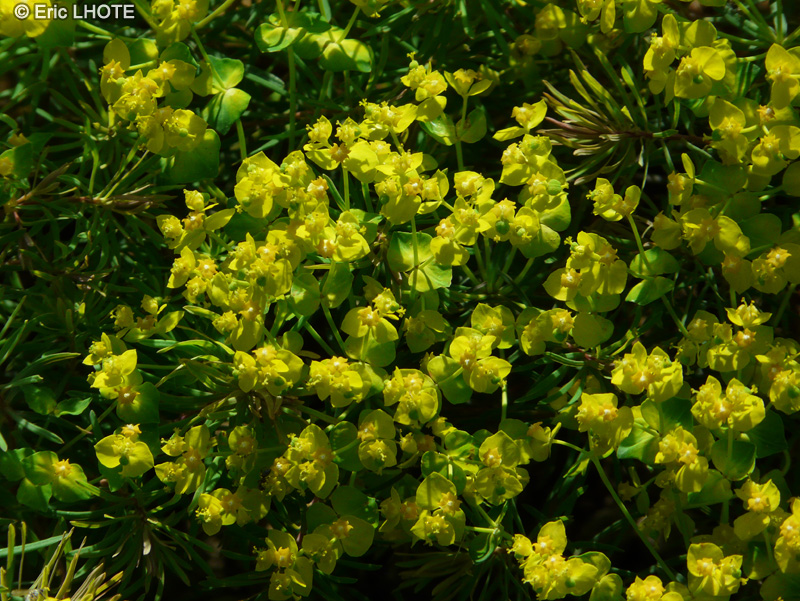 - Euphorbia cyparissias -