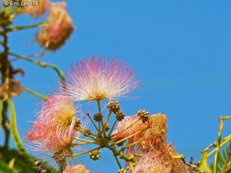 Fiche albizia julibrissin for Acacia de constantinople prix