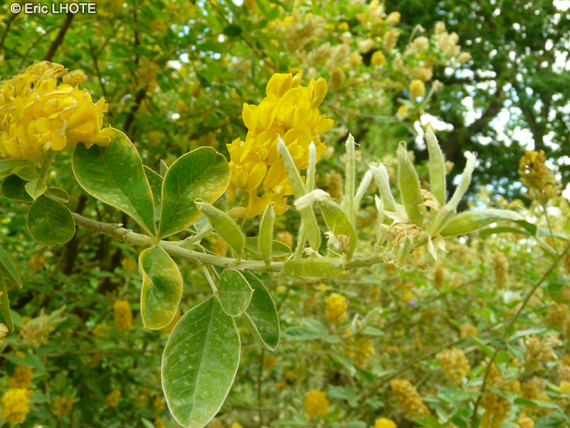 - Argyrocytisus battandieri, Cytisus battandieri -
