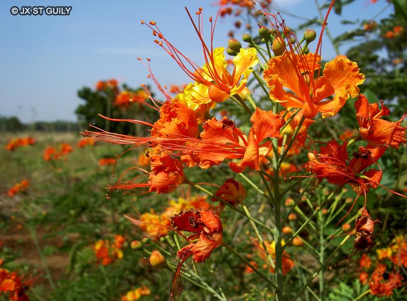 Fiche caesalpinia pulcherrima - Plante a la gomme ...