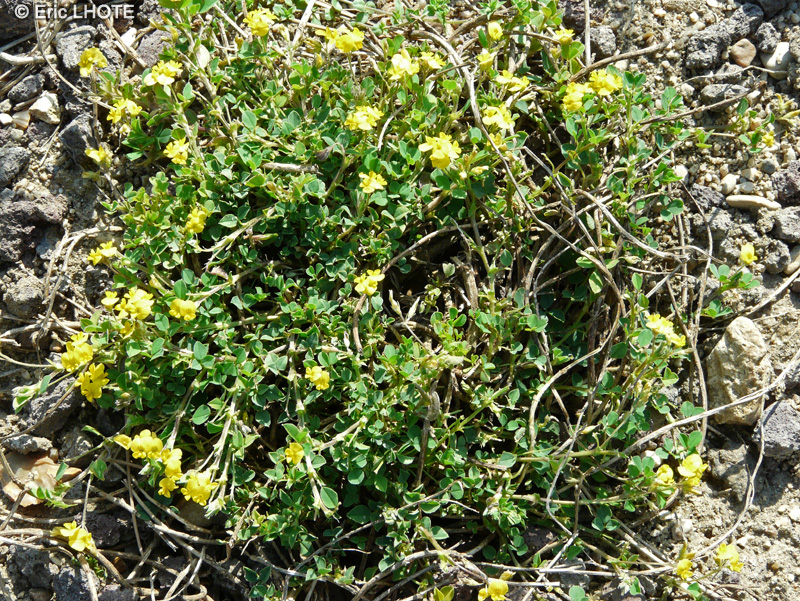 - Medicago suffruticosa -