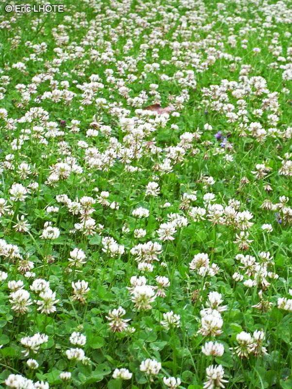 Fiche trifolium repens for Plante lacustre