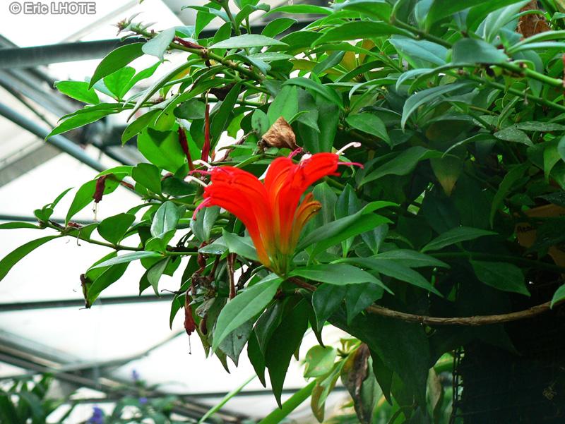 Fiche aeschynanthus speciosus for Plante rouge