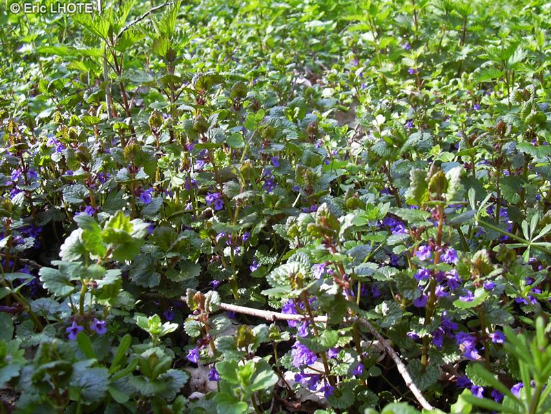 Fiche glechoma hederacea for 815 plante st jean