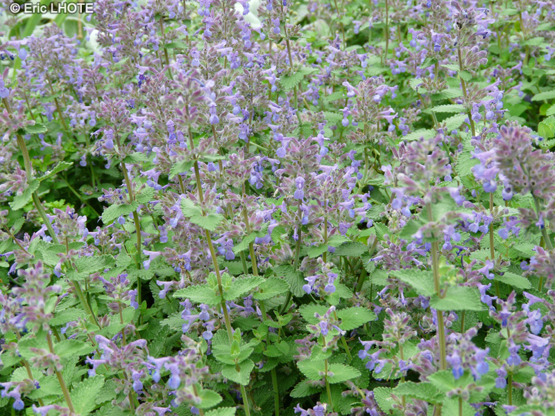 Fiche nepeta mussinii page 4523 - Herbe a chat plante ...