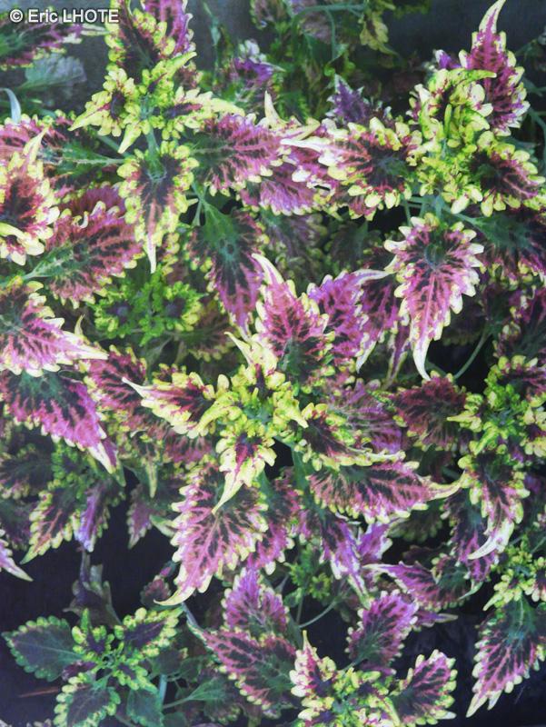Fiche solenostemon scutellariodes olympic torch for Plante lacustre