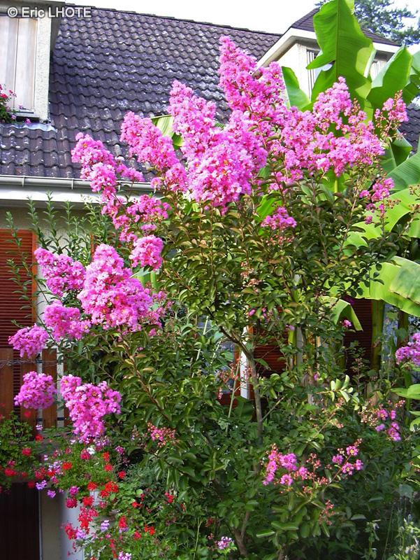 Fiche lagerstroemia indica for Plante lacustre