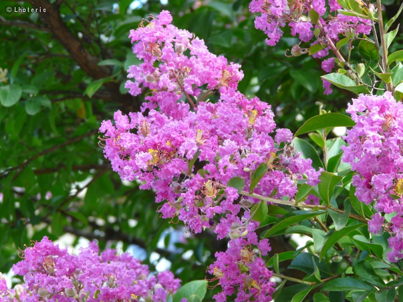 Fiche lagerstroemia indica page 9481 - Lilas des indes racines ...