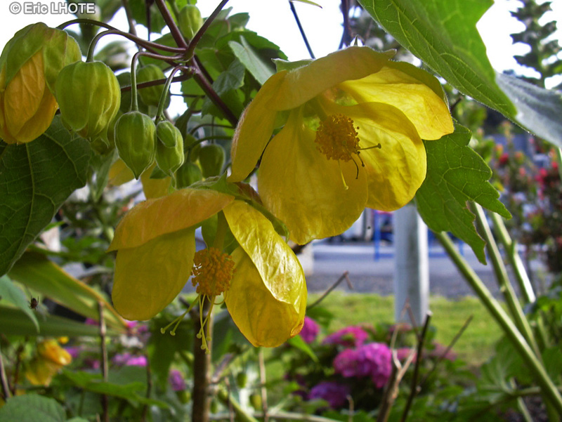 Malvaceae - Abutilon Canary Bird - Abutilon, Erable d'appartement