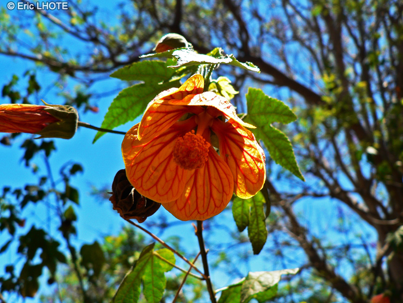 Malvaceae - Abutilon striatum - Abutilon, Erable d'appartement