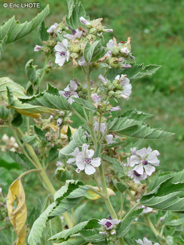 - Althaea officinalis -