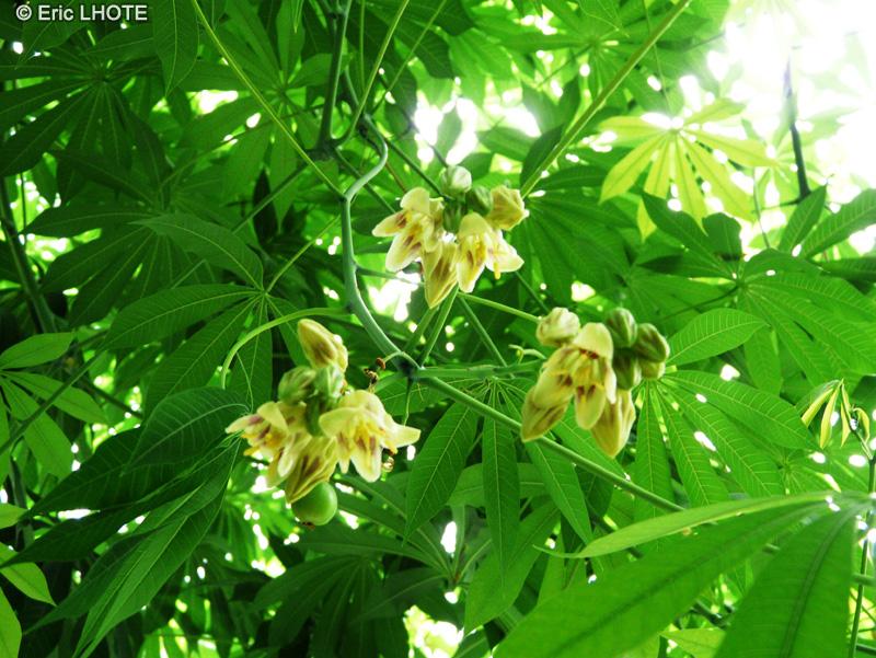 Fiche ceiba pentandra page 4889 for Plante lacustre