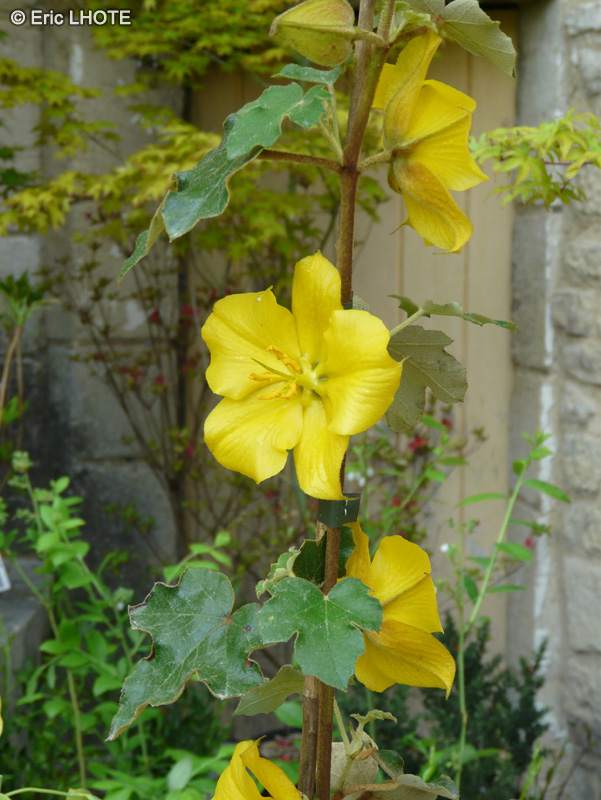 Malvaceae - Fremontodendron Pacific Sunset - Fremontodendron