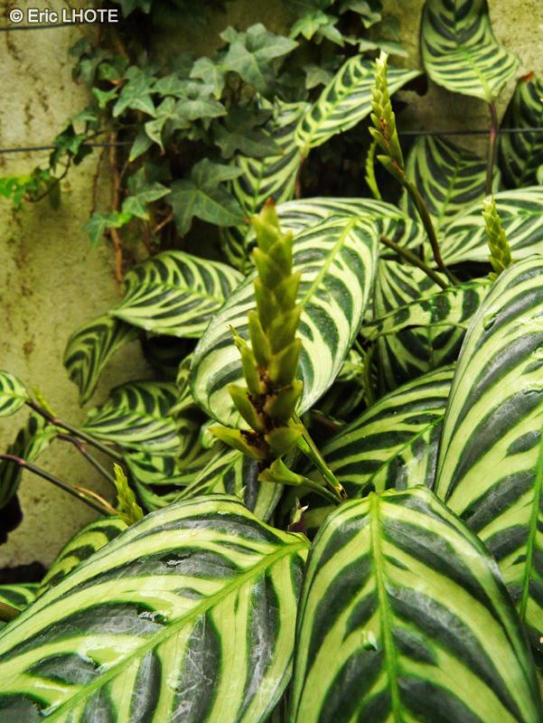 Fiche calathea amabilis for Plante lacustre