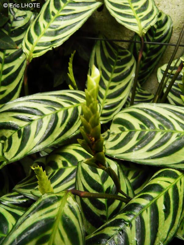 Biblioplantes fiche taxon calathea amabilis page 3 for Plante lacustre