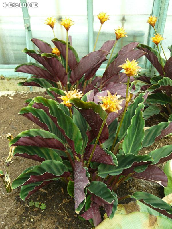 Fiche calathea crocata for Plante lacustre