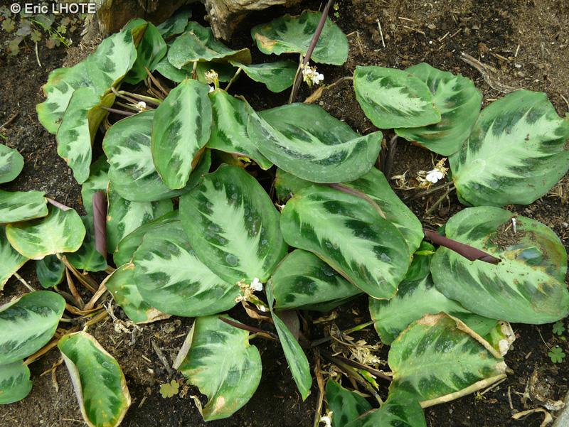 Fiche maranta bicolor for Plante lacustre