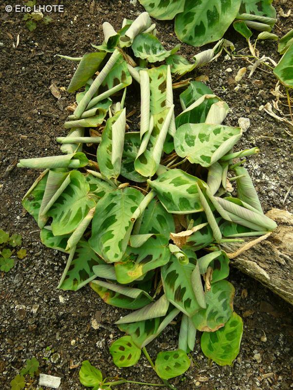 Fiche maranta leuconeura kerkoviana for Plante lacustre