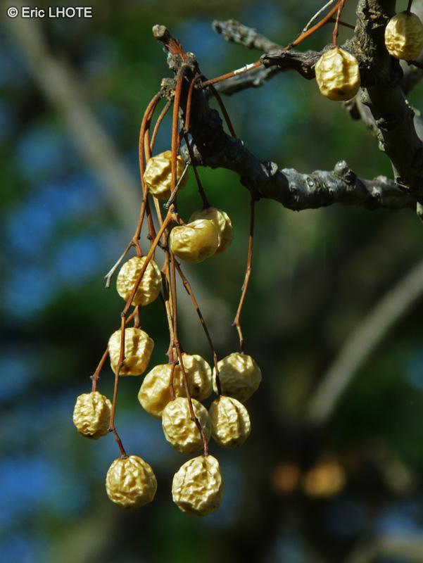 Fiche melia azedarach for Plante lacustre