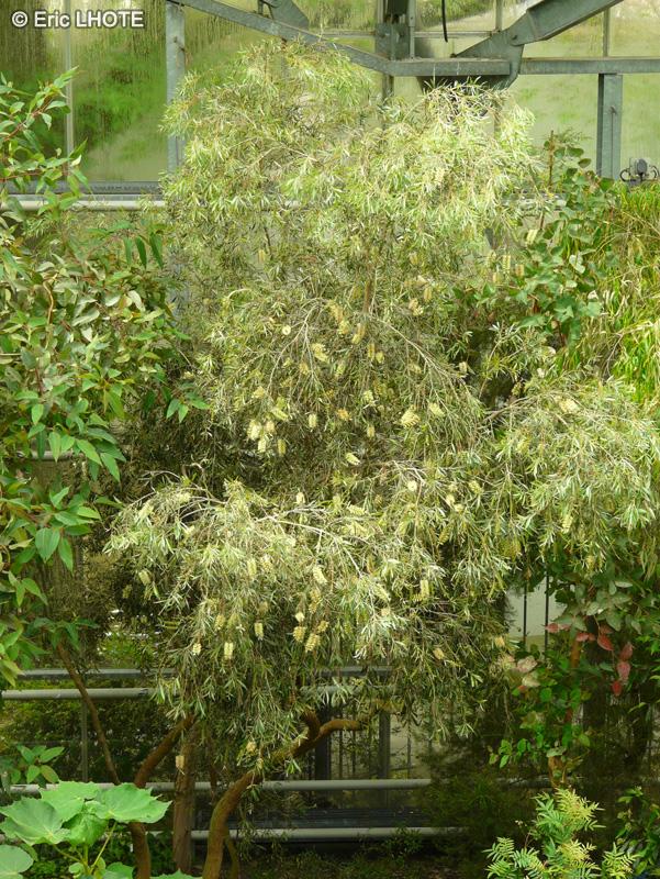 Fiche callistemon salignus for Plante rince bouteille