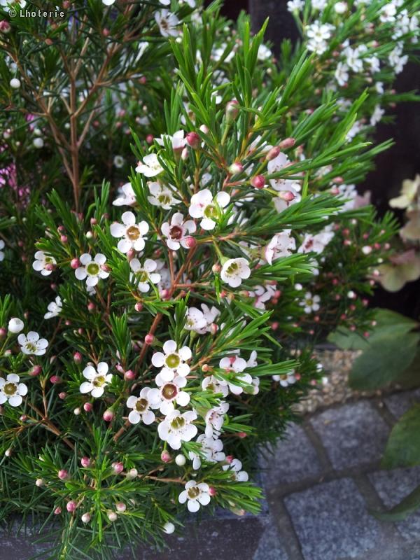 Fiche chamelaucium uncinatum for Plante lacustre