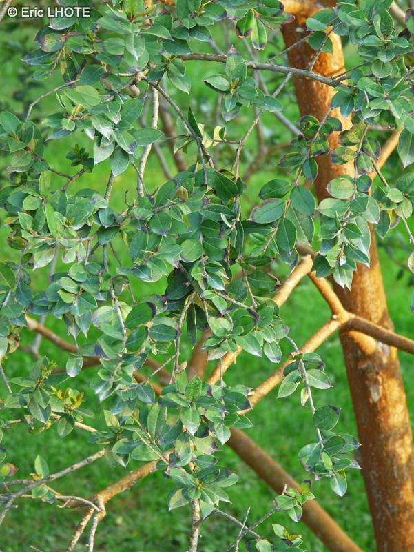 Fiche luma apiculata for Plante lacustre